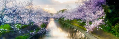 10 Best Cherry Blossom Festivals Around the World - The Wise Traveller