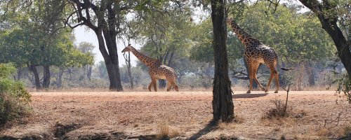 Hotel Review - Mfuwe Lodge - South Luangwa National Park - Zambia - The Wise Traveller - Giraffe