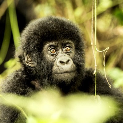 Trekking With Mountain Gorillas - The Wise Traveller
