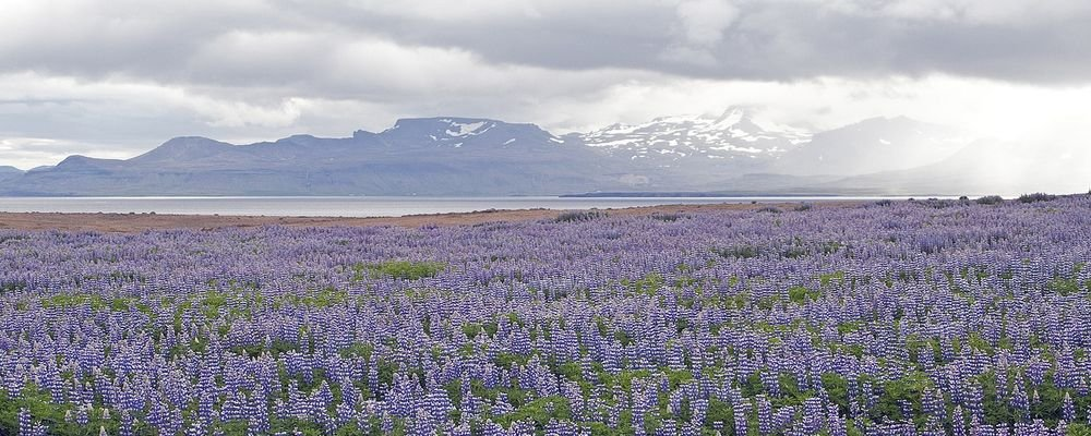 Monthly Round-Up - March - The Wise Traveller - lupins - Iceland
