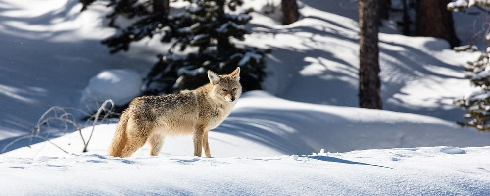 Wild Animals to Spot on a West Coast U.S. Road Trip - The Wise Traveller - Coyote