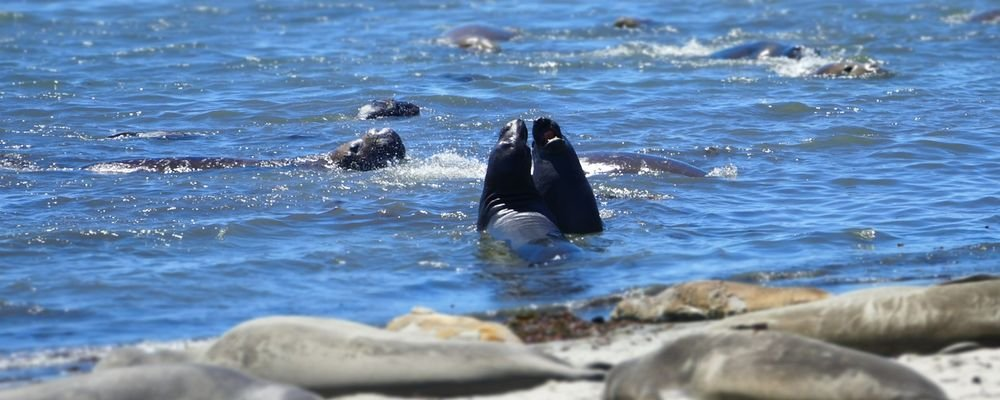 Wild Animals to Spot on a West Coast U.S. Road Trip - The Wise Traveller - Elephant seals